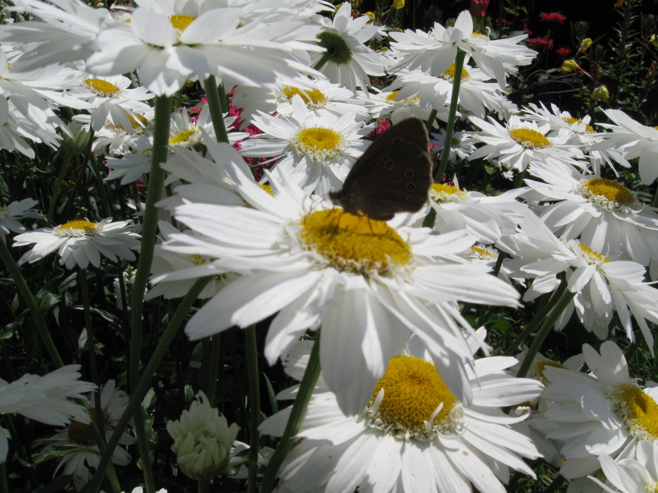 Butterfly on a daisy. Photo done by me, summer of 2010 in my hometown.