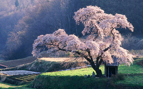Cherry Tree Shrine, Japan