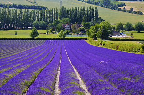 Lavender Farm, Provence, France