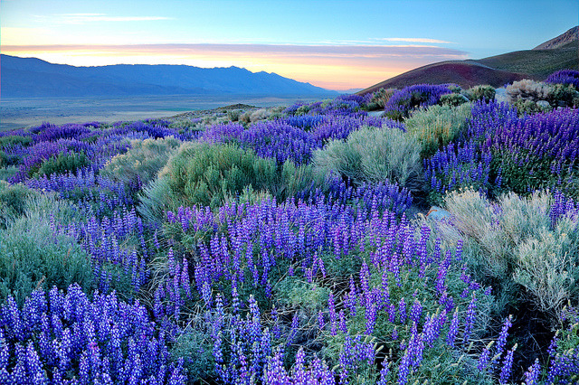 by DM Weber on Flickr.Eastern Sierra Nevada Lupine Sunrise, California, USA.