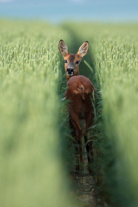 Wheat Field Deer, France