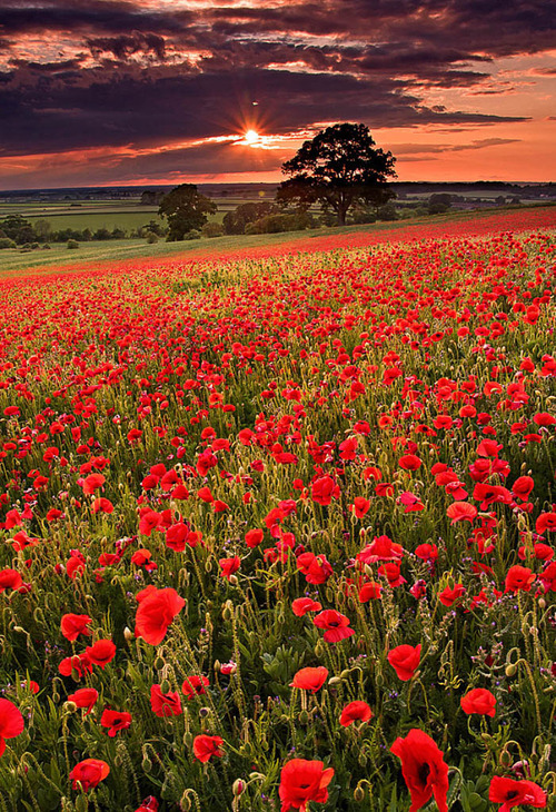 Poppy Field Sunset, Oxfordshire, England